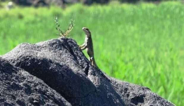 Nadir türlerden 'Kafkas keleri' Iğdır'da ortaya çıktı