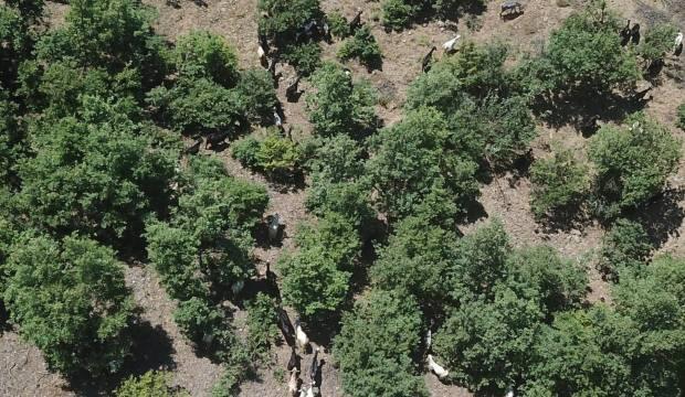 Uykuya dalınca kaybolan 93 keçisi 3 gün sonra bulundu
