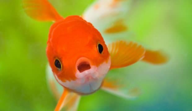 Japon balığı bakımı nasıl olmalı? Japon balıklarına günde kaç kez yem verilmeli?