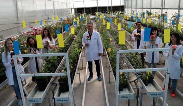 Türkiye ezber bozdu! Yerli gül 6 yılda üretildi, Hollanda'ya satacağız