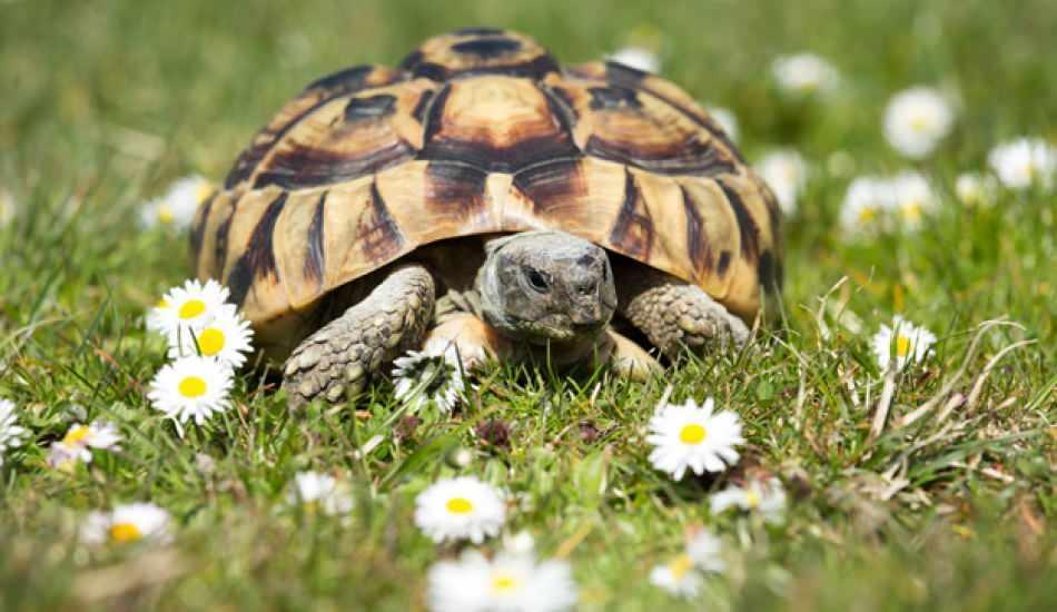 Kaplumbağa ne yer ve nasıl beslenir? Kaplumbağanın sevdiği yiyecekler