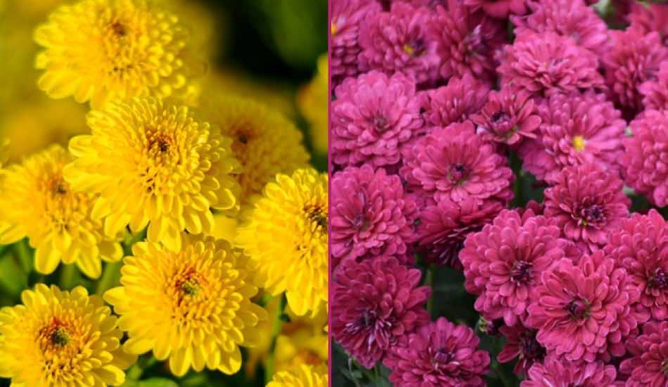 Kasımpatı çiçeği bakımı nasıl yapılır? Kasımpatı çiçeği özellikleri ve faydaları nelerdir?