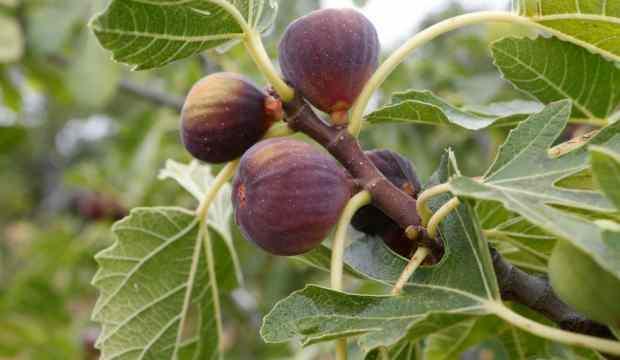 İncir yaprağının faydaları nelerdir? Kan şekerini düşüren incir yaprağı çayı nasıl hazırlanır?