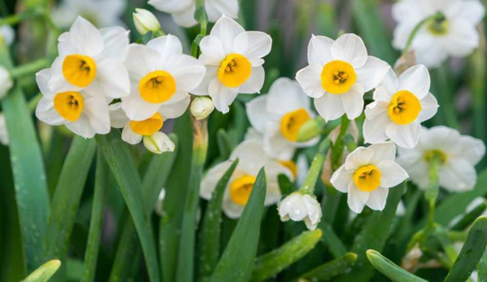 Nergis çiçeği anlamı nedir? Nergis özellikleri ve faydaları nelerdir? Nergis çiçeği çoğaltma