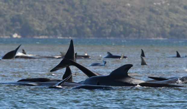 Kurtarma çalışmaları sürüyor: Yüzlerce balina kıyıya vurdu!