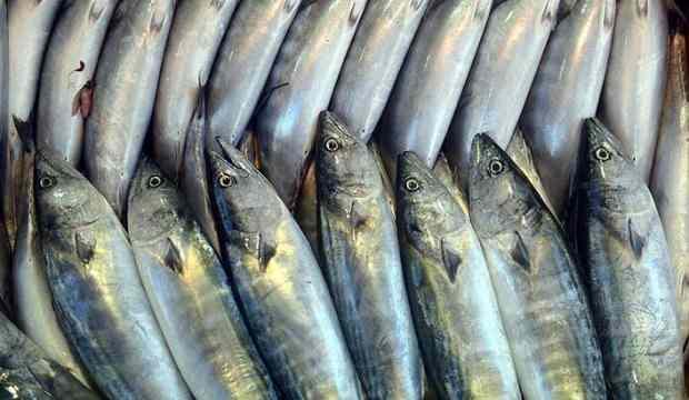 Bolluk yaşanan palamut balığının fiyatı ucuzluyor