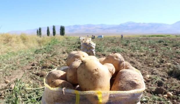 Patates tarlada kaldı