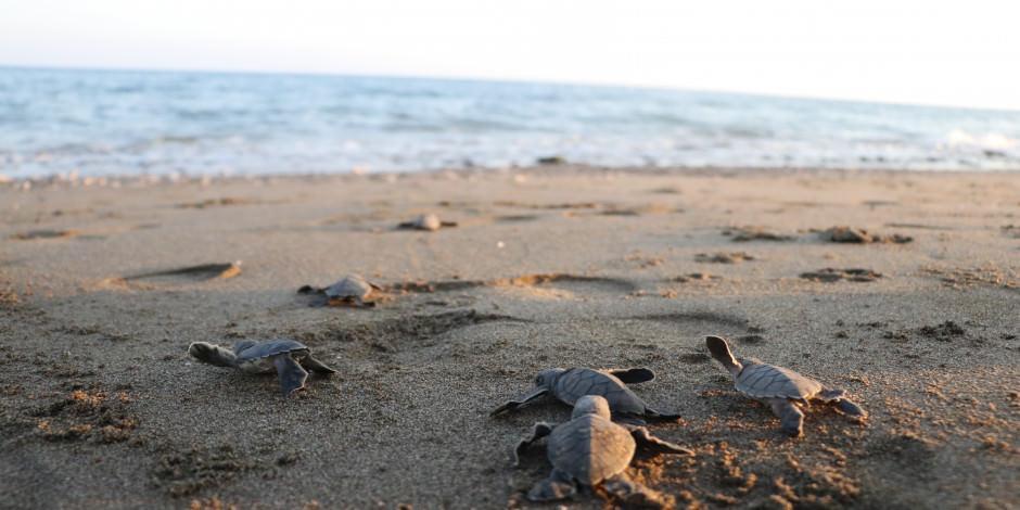 300 bin yavru kaplumbağanın denize ulaşma macerası