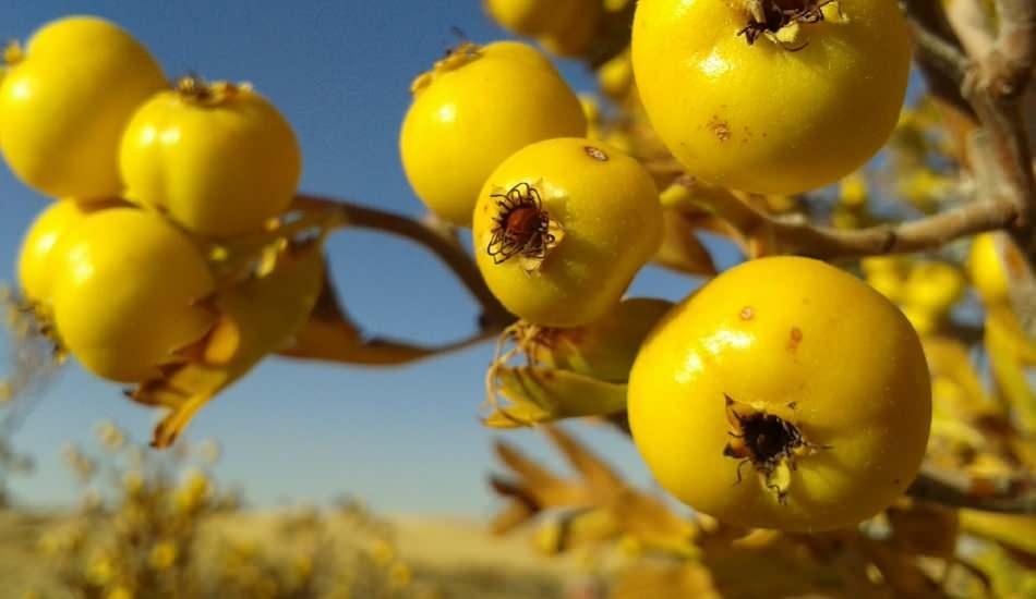 Alıç meyvesini çekirdekleriyle beraber yiyen 5 kişi hastanelik oldu!