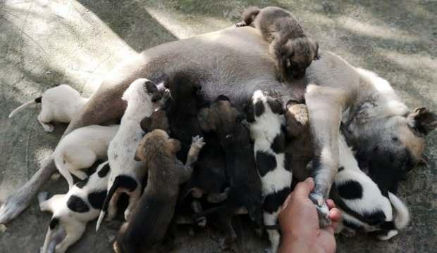 Kangal köpeği bir defada 17 yavru doğurdu