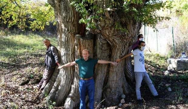 Artvin'de 2 bin yıllık ağaç bulundu