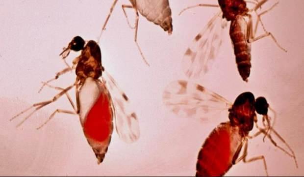 Kan emici sinekler insanlarda körlüğe neden oluyor