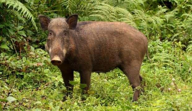 Kestane toplayan kadına domuz saldırdı!