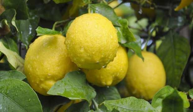 Ekimde en fazla limon ihraç edildi