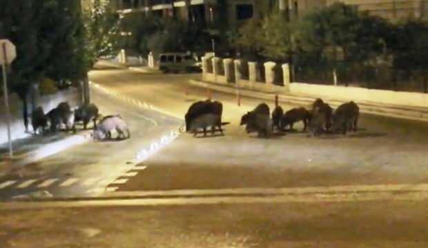 Şaşırtan görüntü! Yol ortasında yaban domuzu sürüsü