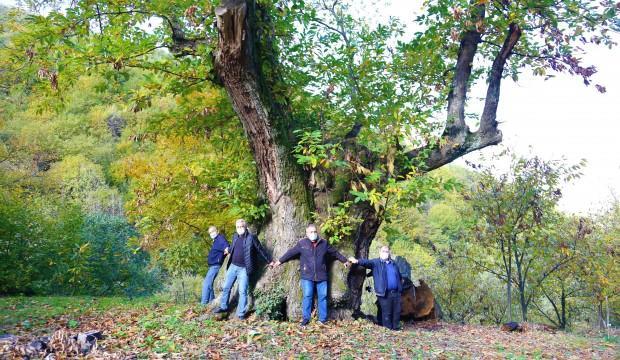 Bu ağaç tam 600 yıldır meyve veriyor