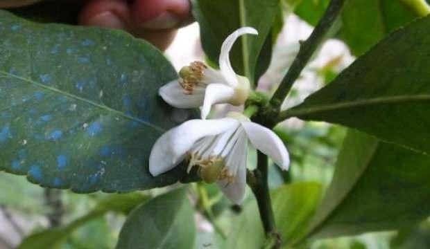 Limon ağacı dalında meyve varken çiçek açtı