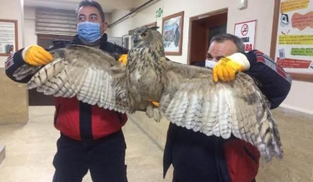Soğuktan bitkin düşen puhu kuşu, 2 bina arasına sığındı