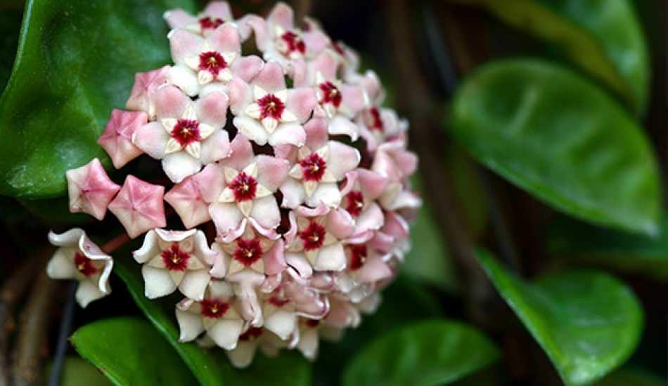 Mum çiçeği nedir? Mum çiçeği bakımı nasıl yapılır? Mum çiçeğinin özellikleri nelerdir