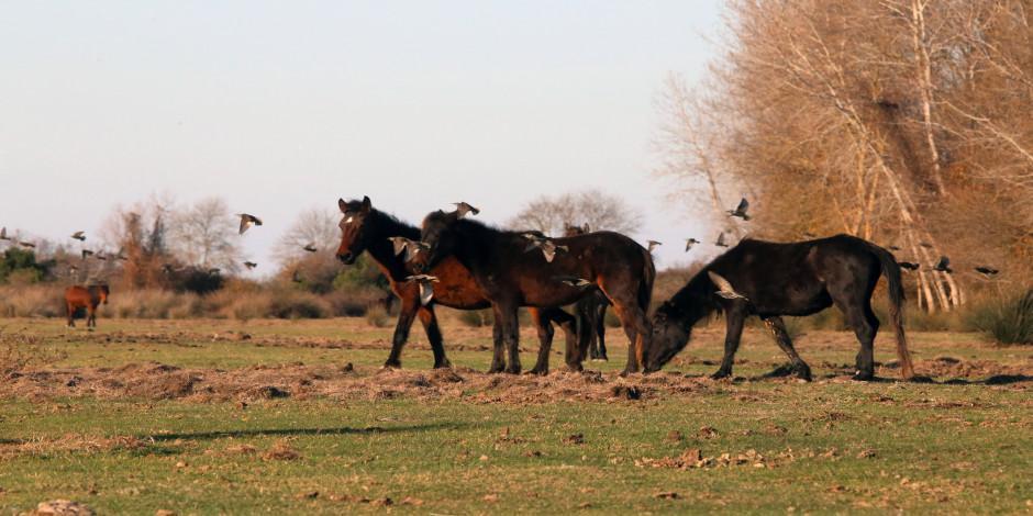 Fotoğrafçıların gözdesi! Kızılırmak Deltası yılkı atları