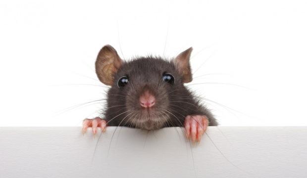 Rüyada siyah fare görmek ne demek? Rüyada fare ısırması neye işaret eder?