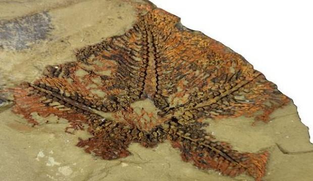 Fas'ta 480 milyon yıllık denizyıldızı fosili keşfedildi