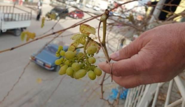 Asma, Ocak ayında üzüm verdi