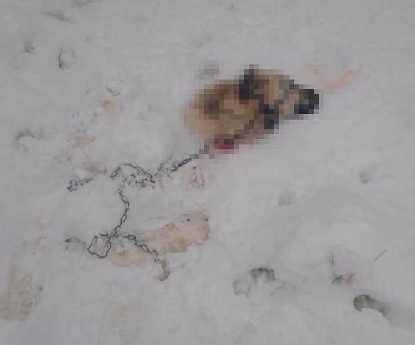 Kurtların saldırısı sonucu telef olan Kangal'dan geriye bu korkunç görüntü kaldı