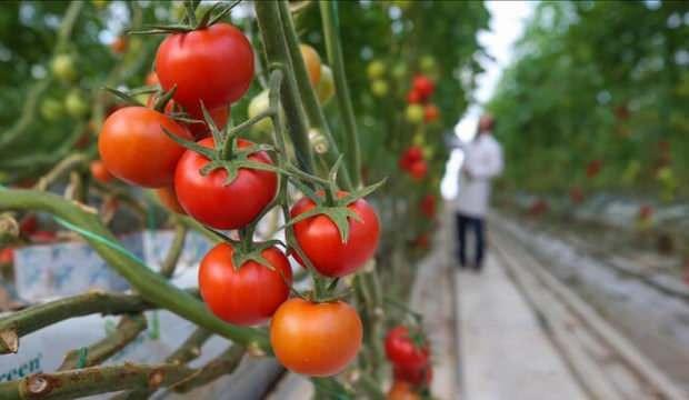 """Afyonkarahisar'dan 30 ülkeye """"salkım domates"""" ihracatı"""