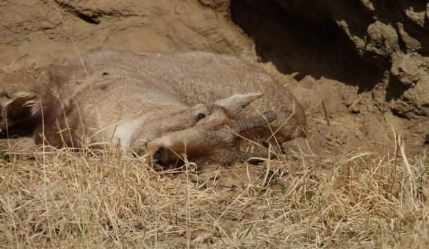 Köylüler dağ keçilerini öldüren bakteri nedeniyle tedirgin