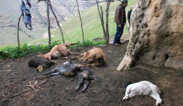 Şırnak'ta korkutan görüntü! Kurtlar sürüye saldırdı