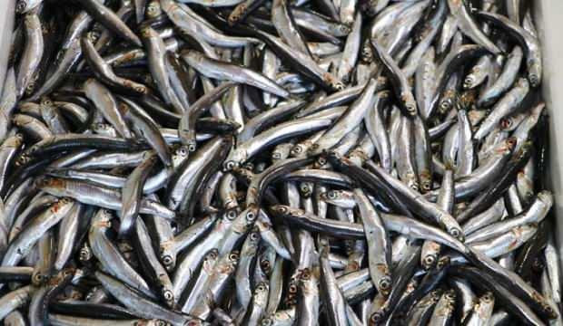 Deniz salyası nedeniyle avcılığın azalması hamsi ve istavritin fiyatını artırdı