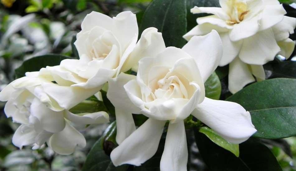 Gardenya çiçeği anlamı ve özellikleri nelerdir? Gardenya çiçeğinin faydaları