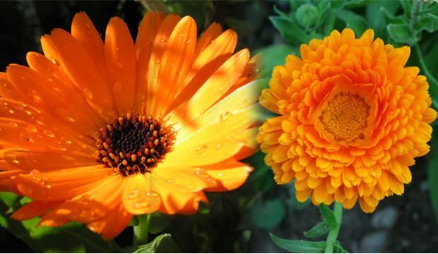 Aynısefa bitkisinin faydaları nelerdir? Aynısefa bitkisi nerede yetişir?