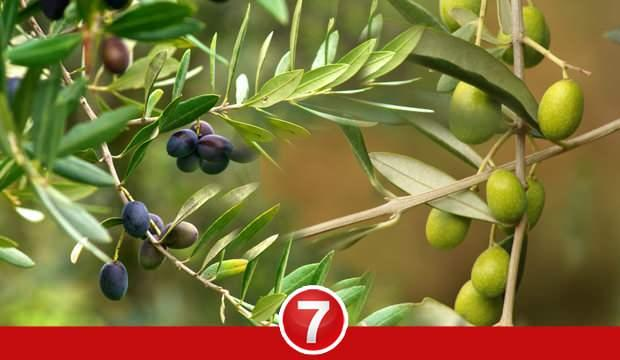 Zeytin yaprağı çayı faydaları nelerdir? Zeytin yaprağı çayı nasıl yapışır?