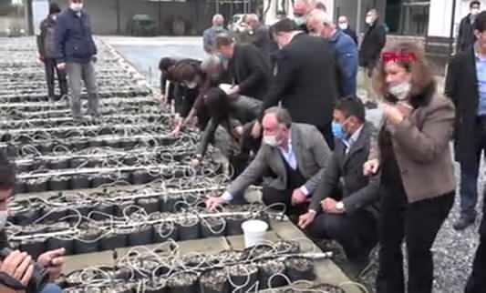Aydın'da 33 bin incir çeliği fidan olmak için toprakla buluştu