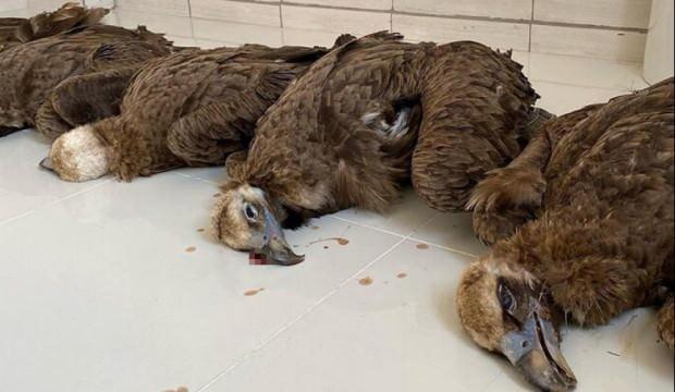 Koruma altındaki 7 kara akbaba ölü bulundu!