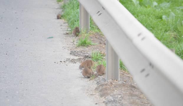 Tekirdağ-İstanbul çevre yolunu aç fareler bastı!
