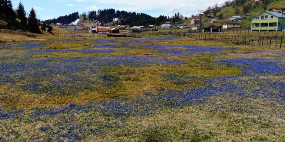 Mor Yayla'nın Mavi Yıldız çiçekleri 'sessiz' açtı