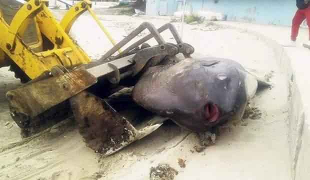 Marmara'da 500 kiloluk bir dev kıyıya vurdu