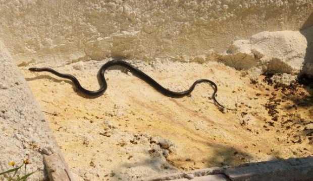 Siyah yılanlar endişeye neden oldu