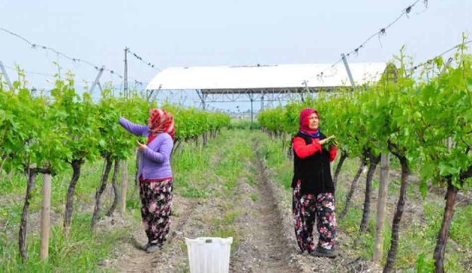 Üzüm yaprağına ihracat talebi yağıyor, yeni gelir kapısı