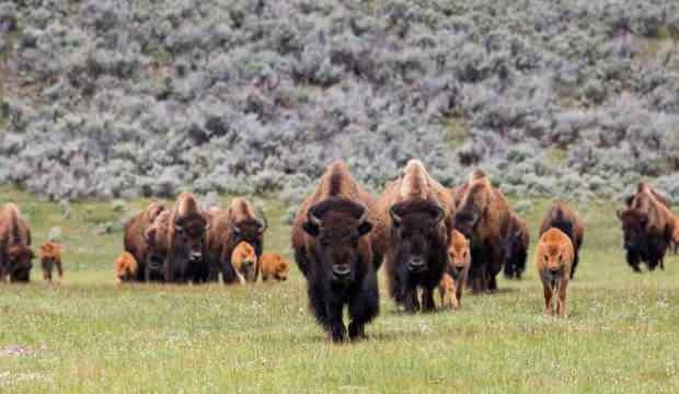 400 bizonu öldürecek gönüllüler aranıyor!