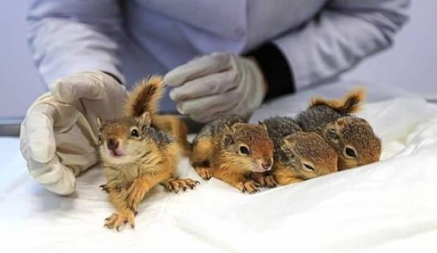 Baygın halde bulunan minik sincaplar tedavi edildi