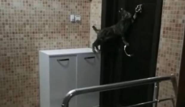 Kapının tokmağını çalan kedi güldürdü! Çok şaşırdılar