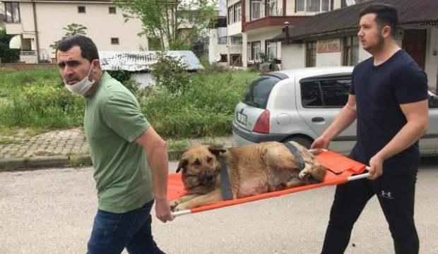 Otomobil çarpan köpeği sedye ile veterinere taşıdılar