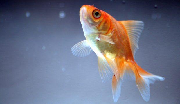 Fanusta Japon balığına nasıl bakılır? Japon balıklarına günde kaç kez yem verilir?
