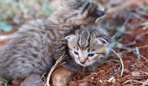 Osmaniye'de bulundular! 2 adet yaban kedisi