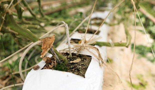 Toprakta değil Hindistan cevizi ile üretiyor! Boyu 5 metreyi buluyor
