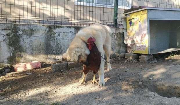 Köpek ve horozun arkadaşlığı görenleri gülümsetiyor